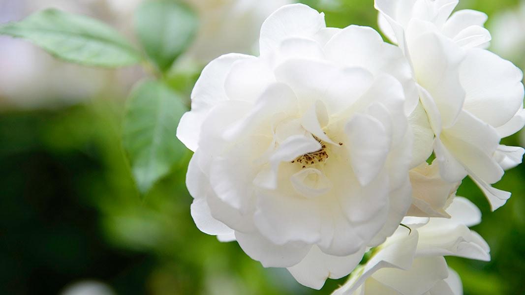 Dutch Quality Gardens Visio Vireo Klassieke Romantische Tuin In Roosendaal 2